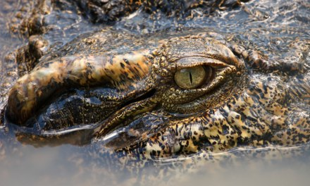 Aaieee!! Krokodil!
